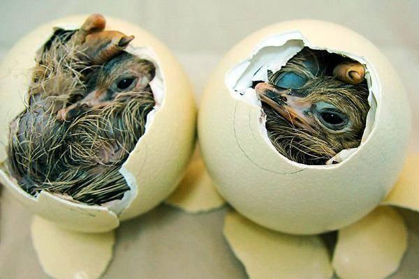 Гусыня-наседка — сколько несется и как высиживает яйца