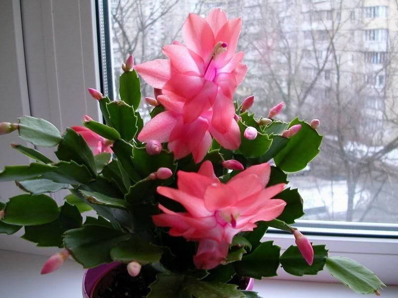 Декабрист — как добиться обильного цветения? уход в домашних условиях. фото — ботаничка.ru