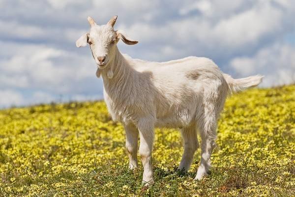 Методы осуществления обрезки копыт у коз