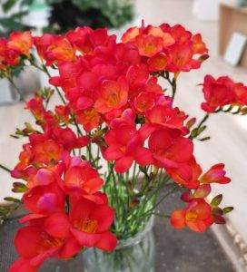 Цветок фрезия - советы по уходу и выращиванию