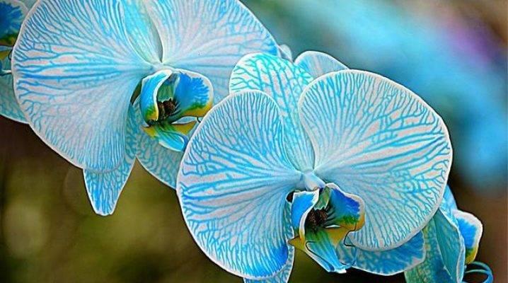 Орхидея синголо: описание сорта и уход в домашних условиях, подробно с фото и видео, а так же отзывы цветоводов