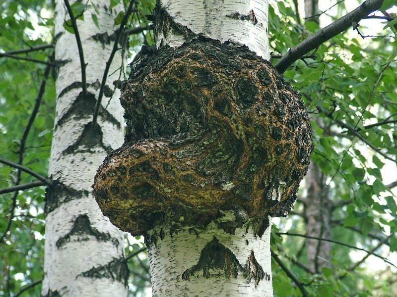 Как растет чага фото. как выглядит березовый гриб чага: описание, отличительные особенности и фото как растет чага фото. как выглядит березовый гриб чага: описание, отличительные особенности и фото