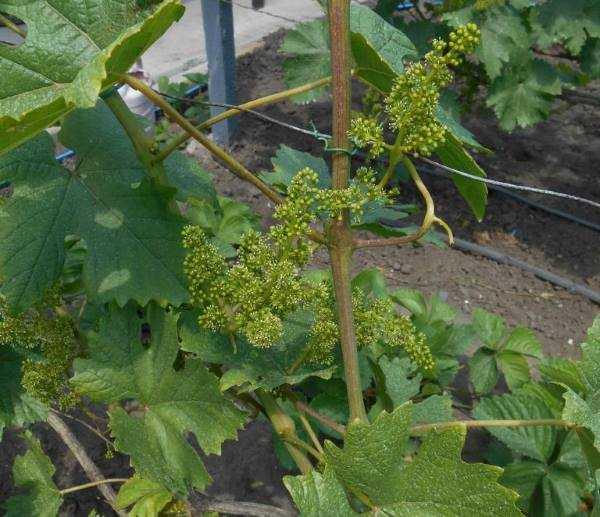 Описание и особенности сорта винограда подарок ирине
