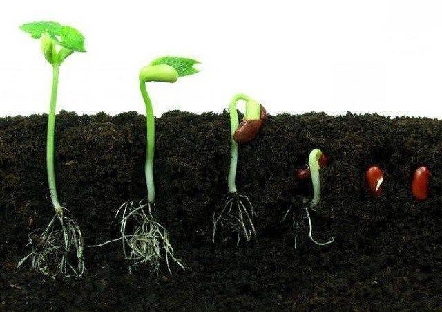 Нужно ли проращивать семена кабачков и как это сделать