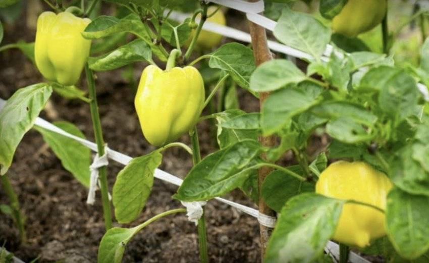 Перец болгарский выращивание и уход: от посева семян до сбора урожая