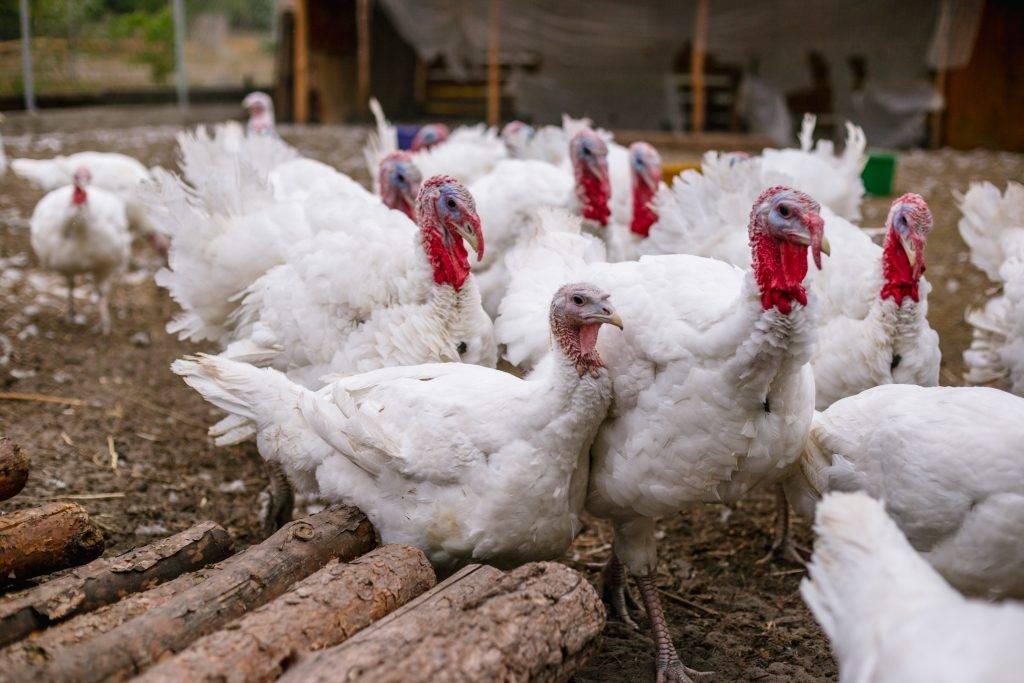 Кальция борглюконат 20% — инструкция по применению для животных в ветеринарии