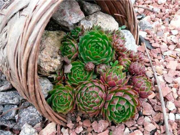 Каменная роза или молодило: уход и разновидности - рататум