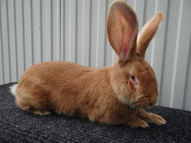 Кролики породы ризен: немецкий ризен, фото, отзывы описание, разведение