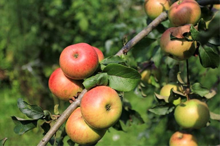 Карликовые яблони: достоинства, недостатки и описание сортов, правила посадки и ухода за деревьями