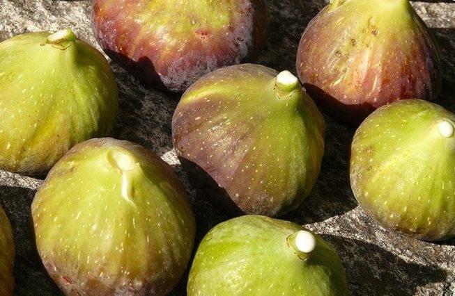 Уход за инжиром осенью и подготовка к зиме: как укрыть на зиму, чтобы дерево не вымерзло