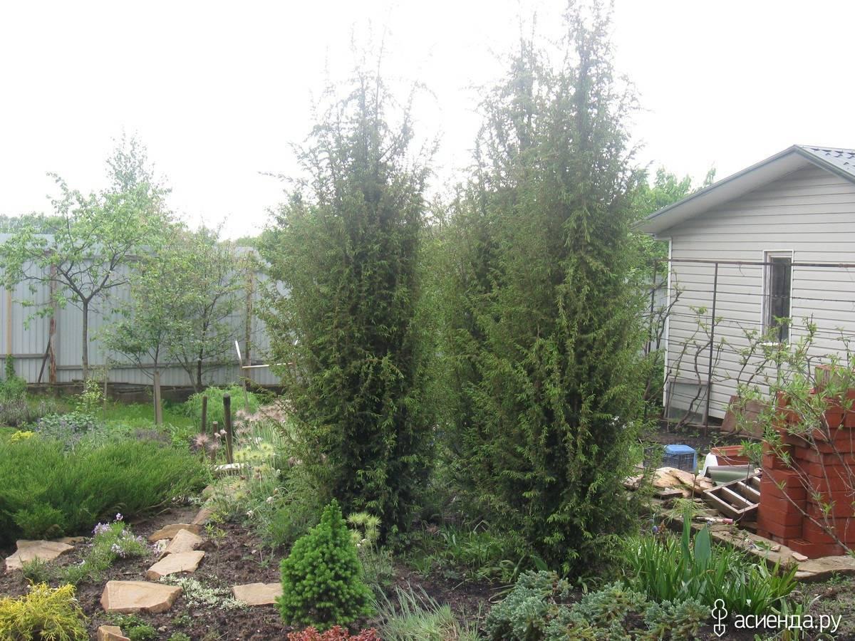 Туя смарагд - высота взрослого растения и сорта, применение в ландшафтном дизайне с фото