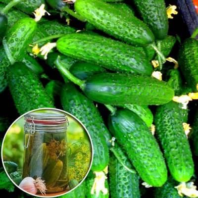 Сорт засолочный огурец и другие сорта на засолку