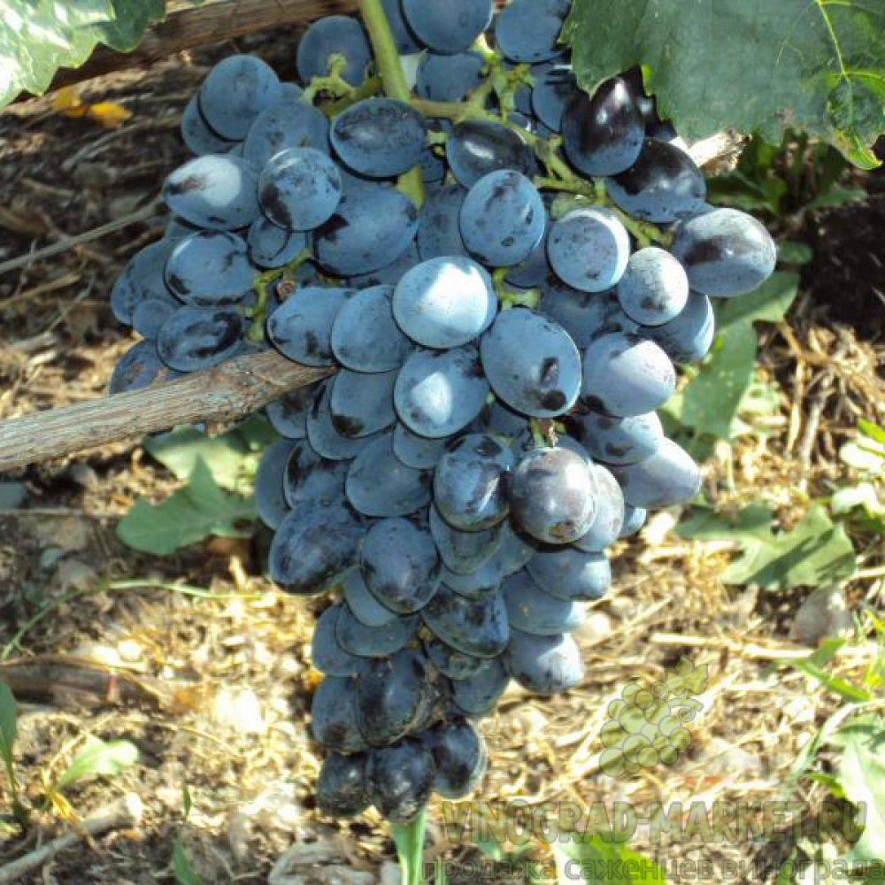 Сорт винограда галия - мыдачники