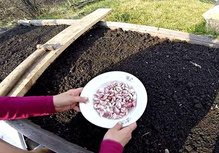 Правильная посадка чеснока весной в открытый грунт