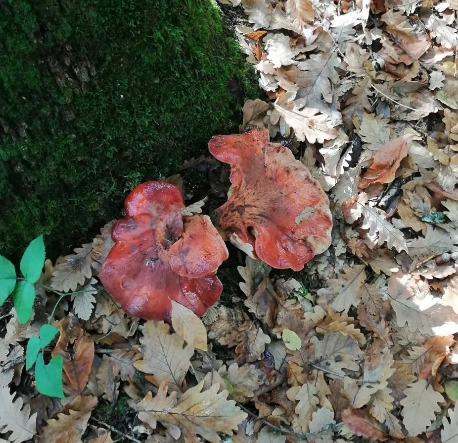Печеночница обыкновенная: виды, условия выращивания