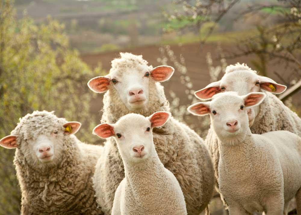 ᐉ разведение овец как бизнес: с чего начать, основные затраты - zooon.ru