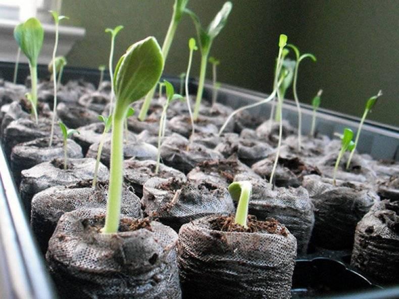 Венидиум — посадка и уход, выращивание из семян, фото цветов