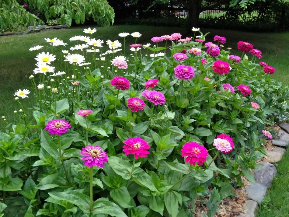 """Цветы """"циния"""" для сада: сорта с фото и описанием, посадка и уход"""