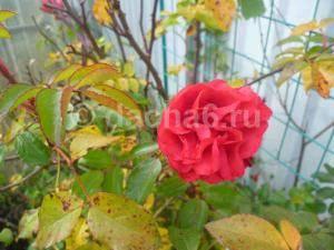 Уход за розами осенью, подготовка к зиме, особенности в разных регионах