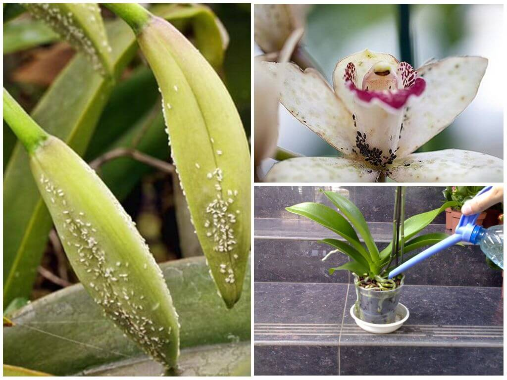 Белые мохнатые жучки на орхидее: как избавиться в домашних условиях