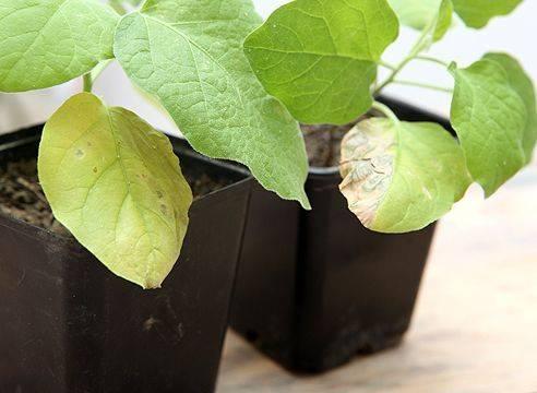 Почему сохнет и скручивается рассада и как помочь растениям: советы опытных огородников на supersadovnik.ru