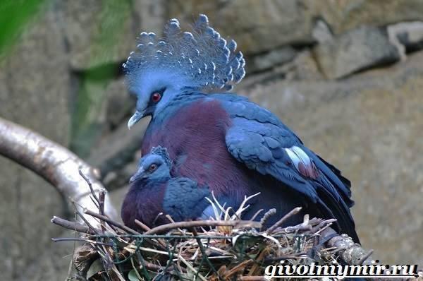 Голубь венценосный: происхождение, среда обитания, питание, размножение