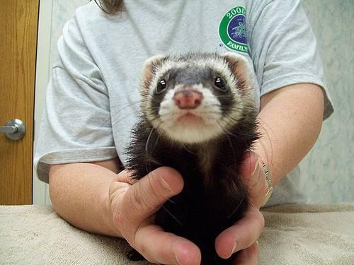 Хорьки. рекомендации по содержанию и уходу за хорьками. – ветеринарные клиники ушихвост, полный спектр услуг для животных.