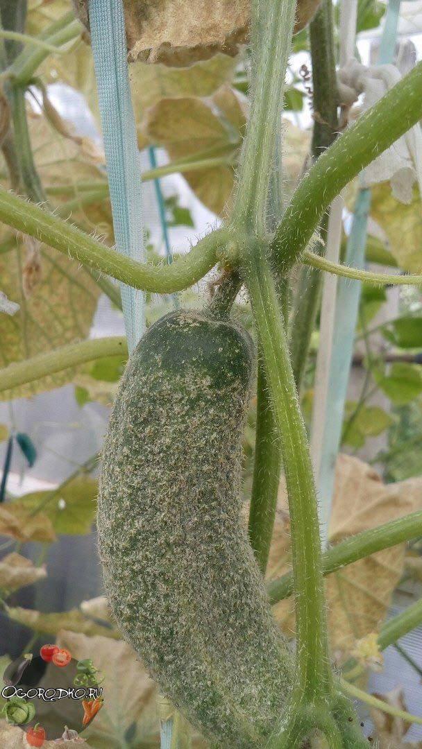 Как избавиться от паутинного клеща на огурцах в теплице: лучшие средства и способы борьбы