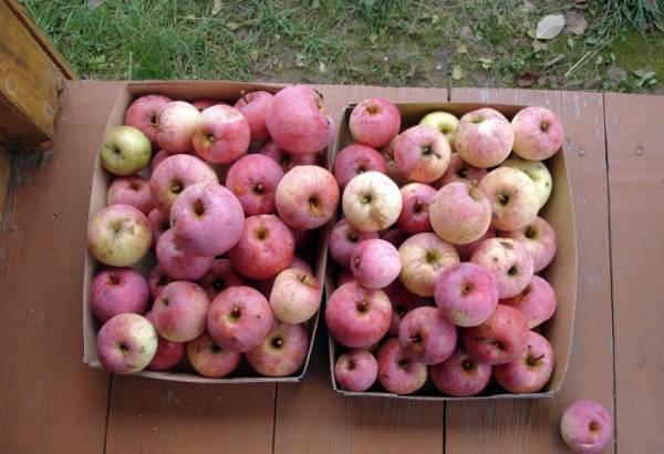 Лучшие сорта колонновидных яблонь для подмосковья