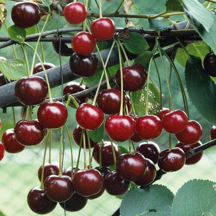 Описание универсального сорта вишни призвание