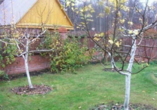Обеспечь хороший урожай: как ухаживать за яблоней весной после зимы