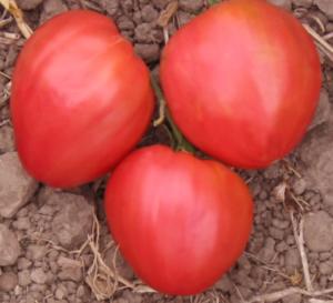 Характеристика и описание сорта томата чудо уолфорда, его урожайность - всё про сады