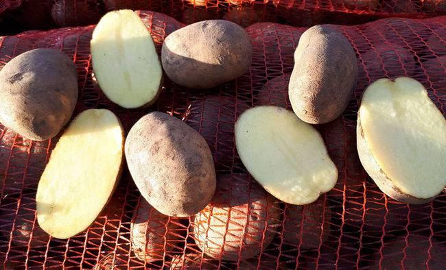 Самый нетребовательный и урожайный сорт картофеля бриз
