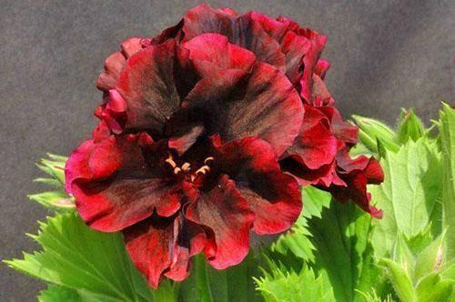 Необычайно красивая королевская пеларгония - описание, фото, особенности выращивания и ухода в домашних условиях
