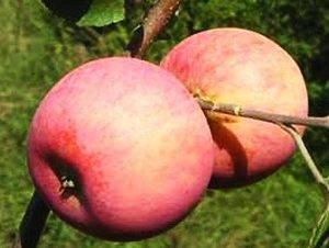 Описание яблони сорта солнцедар: характеристики, выращивание, фото, отзывы