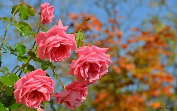 Обработка роз осенью: железный купорос и другие препараты