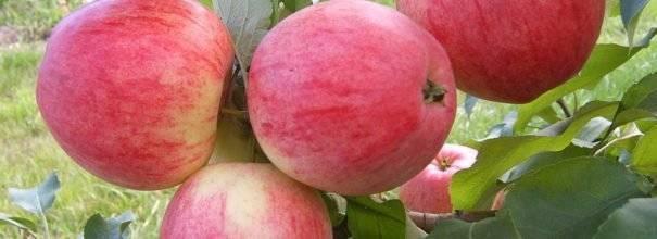 Яблоня мельба: описание сорта яблок, посадка и уход + фото, отзывы