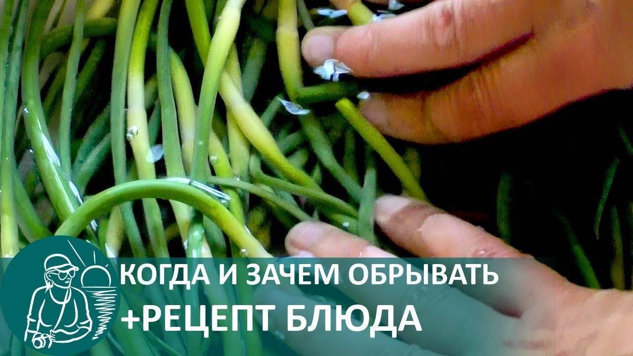 Нужно ли обрывать стрелки у чеснока? когда и как это правильно делать? - дачно-огородные радости - медиаплатформа миртесен