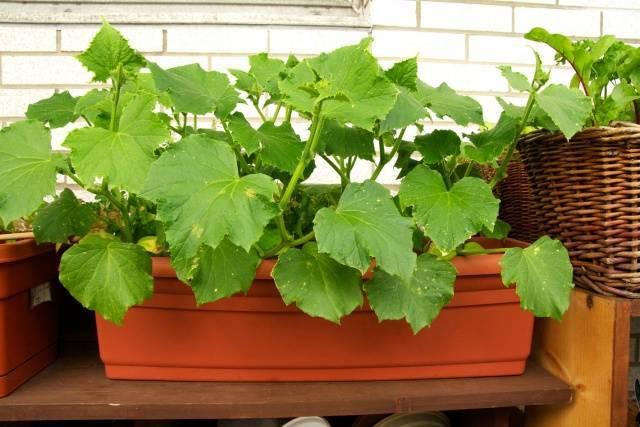 Чем подкармливать и удобрять огурцы на балконе в домашних условиях