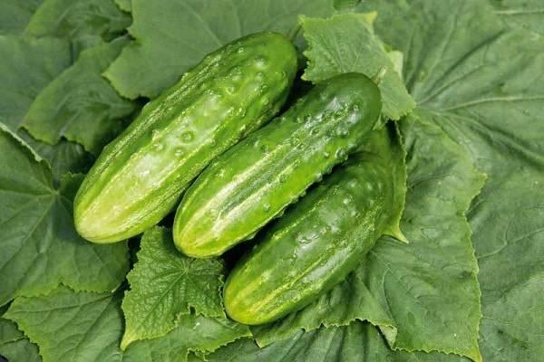 Сорт огурцов кузнечик: способы и особенности выращивания, характеристика куста и плодов, фото - сад и дача