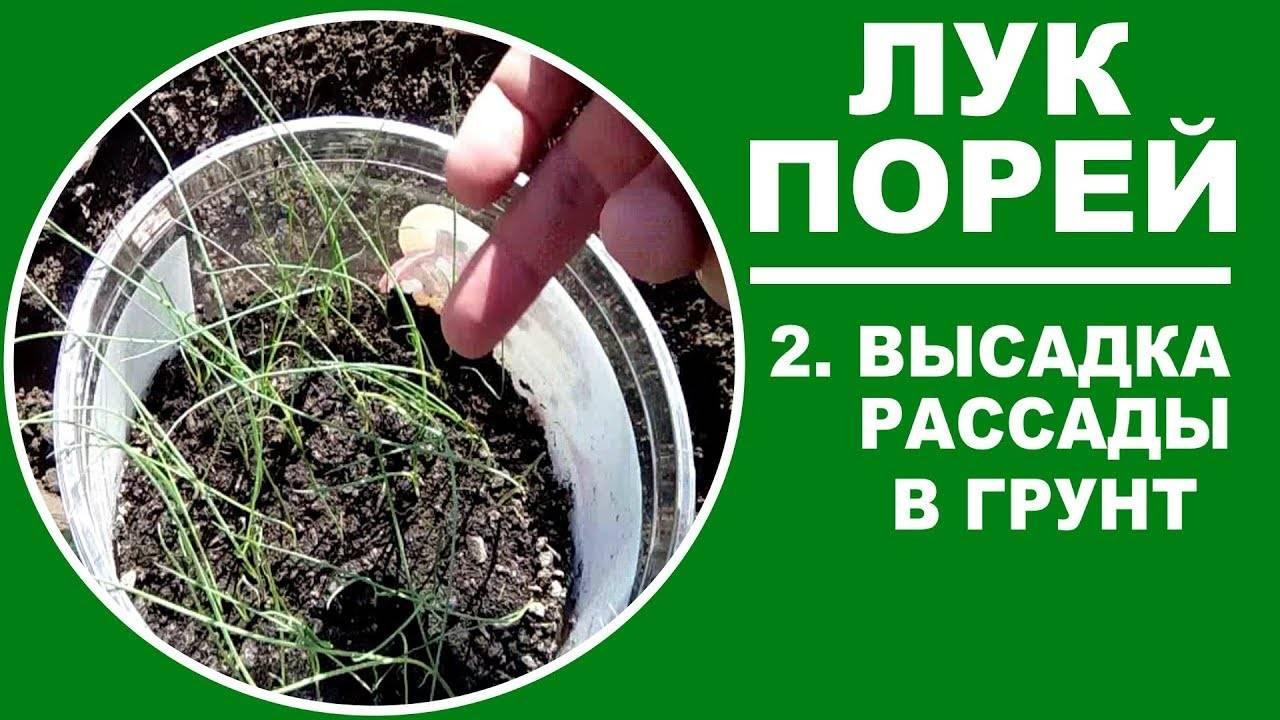 Когда и как сажать лук-порей на рассаду по лунному календарю 2021? выращивание и уход в открытом грунте