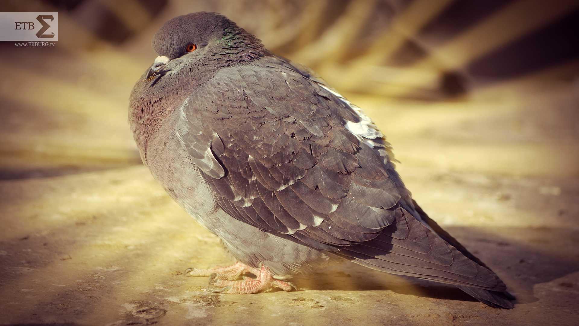 Какой болезнью может заразить человека голубь
