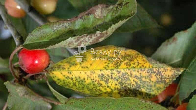 Болезни вишни: описание с фотографиями и эффективные способы лечения