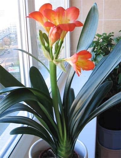 Кливия уход в домашних условиях фото цветка, секреты цветения
