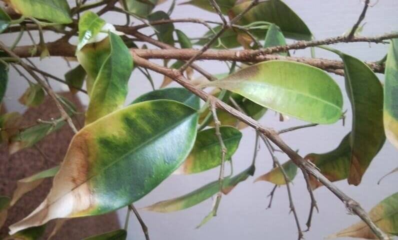 Фикус бенджамина сбрасывает листья: как спасти растение