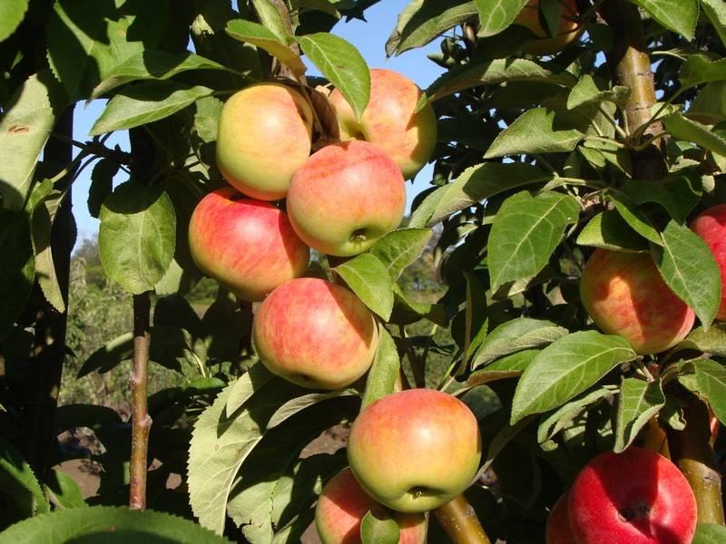 Колоновидные яблони для подмосковья: сорта, отзывы