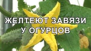 Почему желтеют и опадают завязи огурцов теплице: причины, что делать, фото, видео