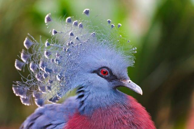 Веероносный венценосный голубь - zefirka
