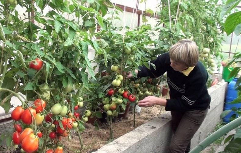 Как нужно поливать рассаду помидоров весной 2019 года до и после пикировки, правильный и неправильный полив