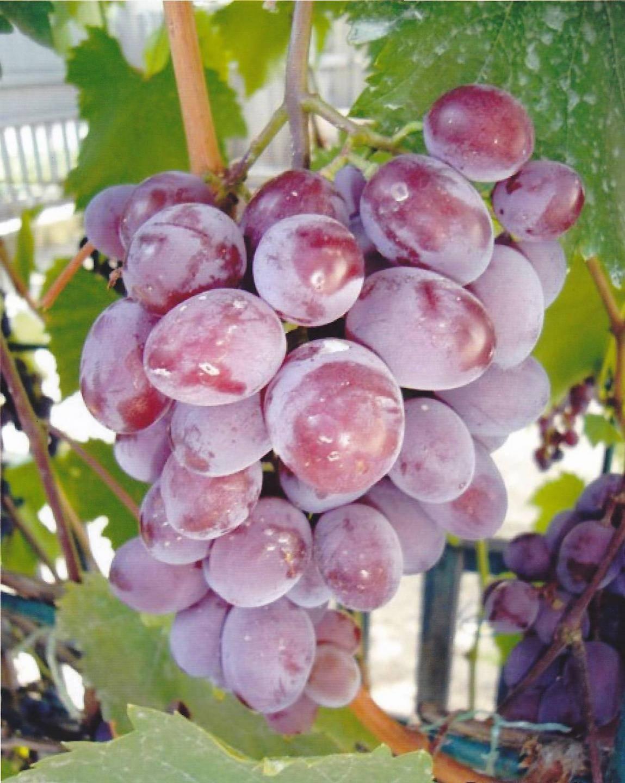 Виноград сорта виктория: описание ,отзывы и фото